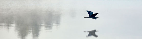 Heron flying over Maranacook Lake in Readfield, ME.  		<br />  		Nikon D3200 - f/4.8, 1/640 sec.